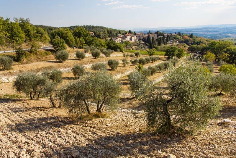 olive trees arkivbild