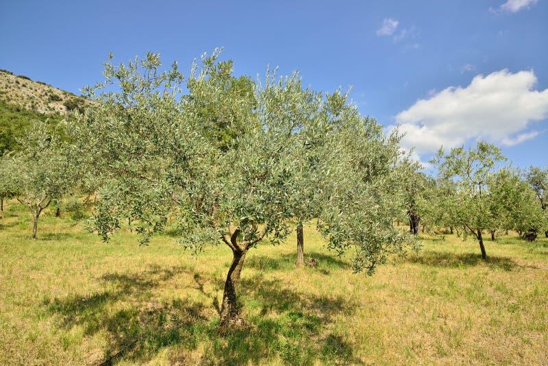 Olive trees arkivfoto
