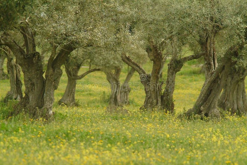 Olive trees. In andalusie in the springtime royalty free stock photography