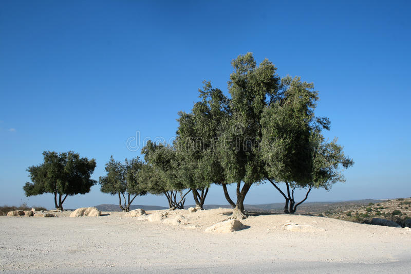 Download Olive Trees Against Blue Sky Stock Image - Image: 19827687