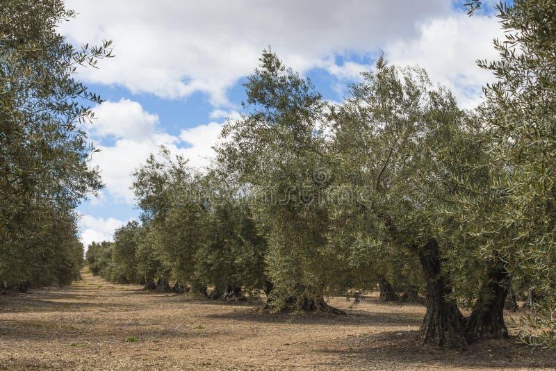 Olive trees stock photos