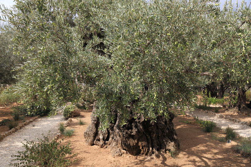 Olive trees in Dominus Flevit Church royalty free stock image