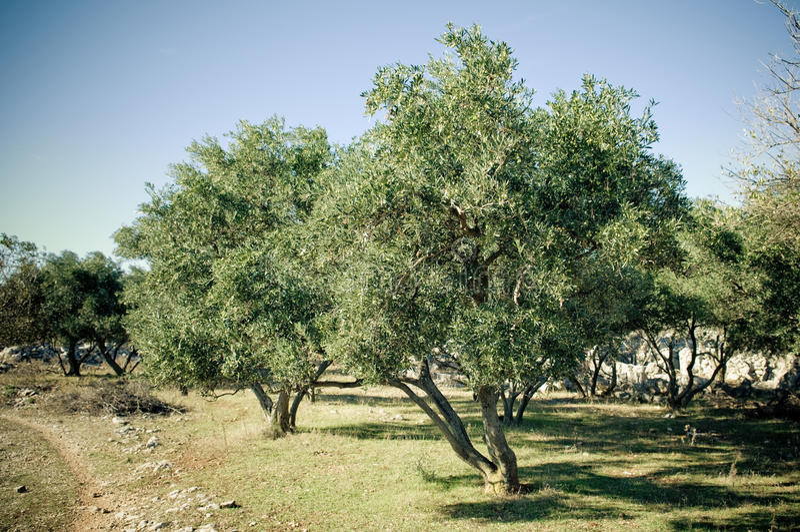 olive trees för dunge royaltyfria bilder
