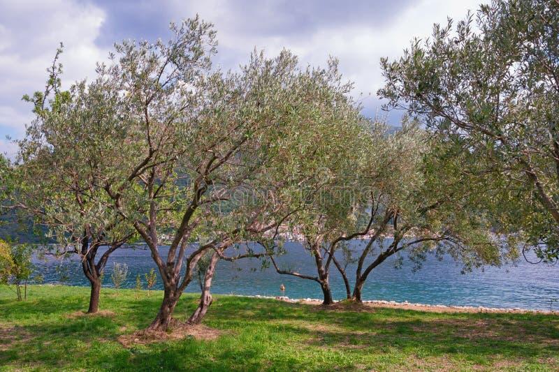 olive trees för dunge fjärdkotor montenegro fotografering för bildbyråer