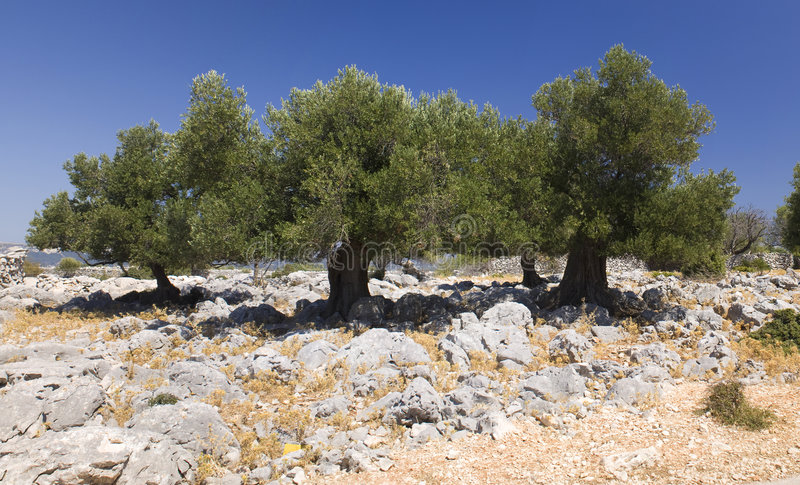 olive trees för lun royaltyfria foton