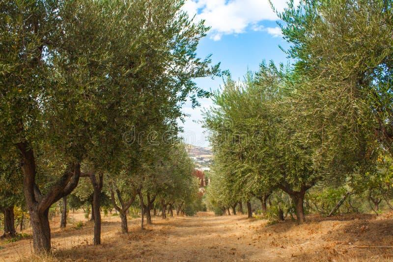 Olive Trees Garden, met Olijven op de Takken, Aardachtergrond stock fotografie
