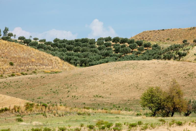 Olive trees garden between yellow hills royalty free stock images
