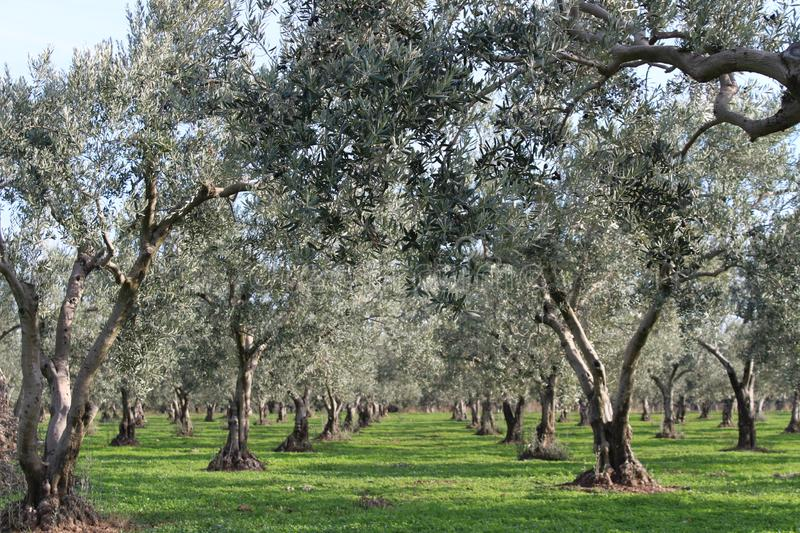 Olive trees and gardens. November harvest in olive gardens at canakkale deer stock photography