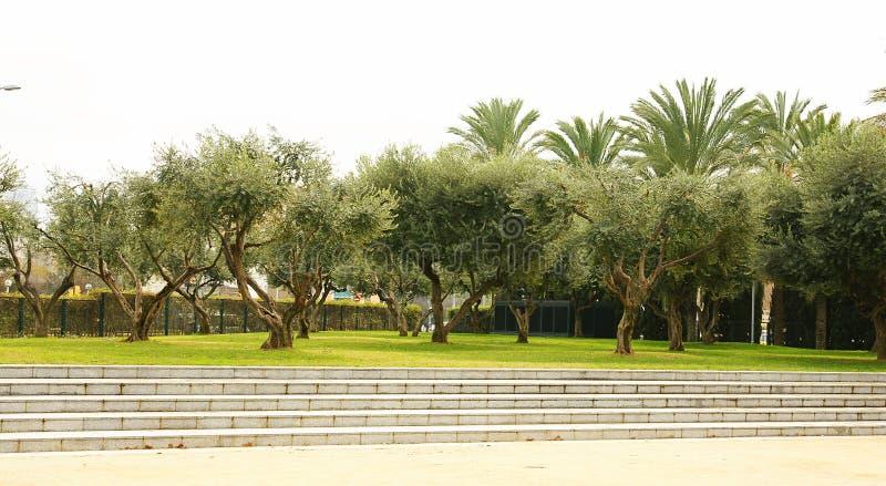 Olive trees in the gardens of the Teatre Nacional de Catalunya TNC, Barcelona. Catalunya, Spain royalty free stock photography