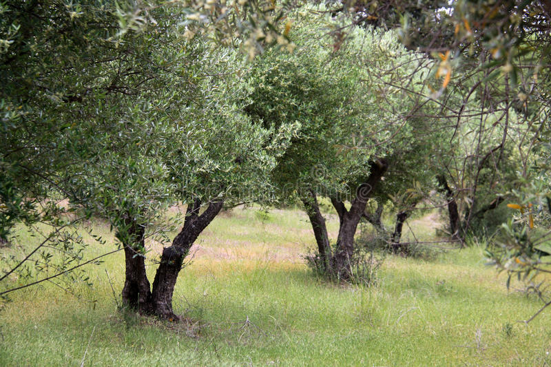 Olive trees in Greece. Beautiful and green olive trees on Kos island in Greece royalty free stock photos