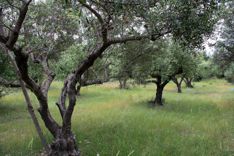 Olive trees in Greece. Beautiful and green olive trees on Kos island in Greece royalty free stock images