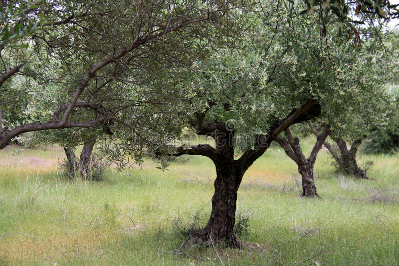Olive trees in Greece. Beautiful and green olive trees on Kos island in Greece stock photo