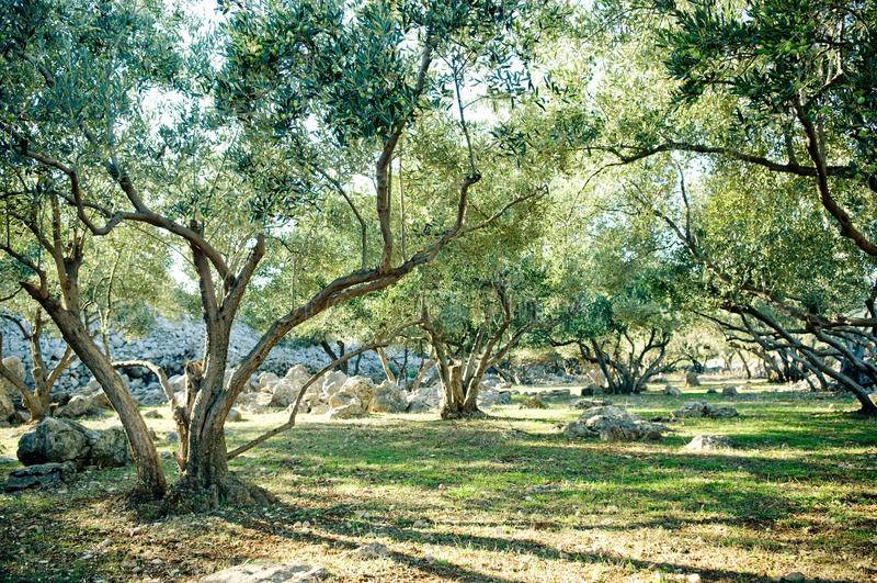 Olive trees grove. Croatia island Krk stock photo