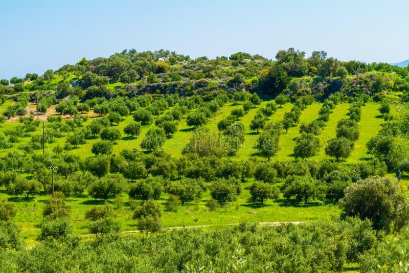 Olive trees grove landscape in the Mediterranean island of Crete, Greece. Olive trees grove landscape, greens and blue sky in the Mediterranean island of Crete stock photo
