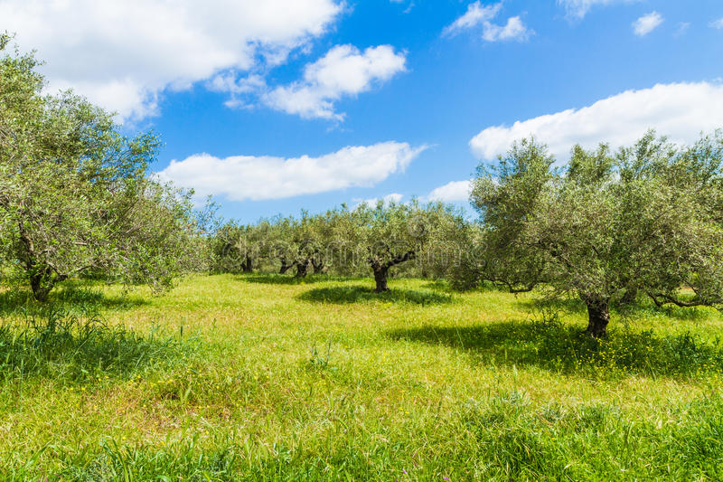 Olive trees grove landscape in the Mediterranean island of Crete, Greece. Olive trees grove landscape, greens and blue sky in the Mediterranean island of Crete stock photography