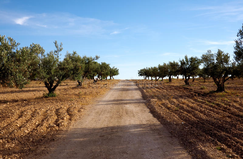 Olive trees in a grove stock photography