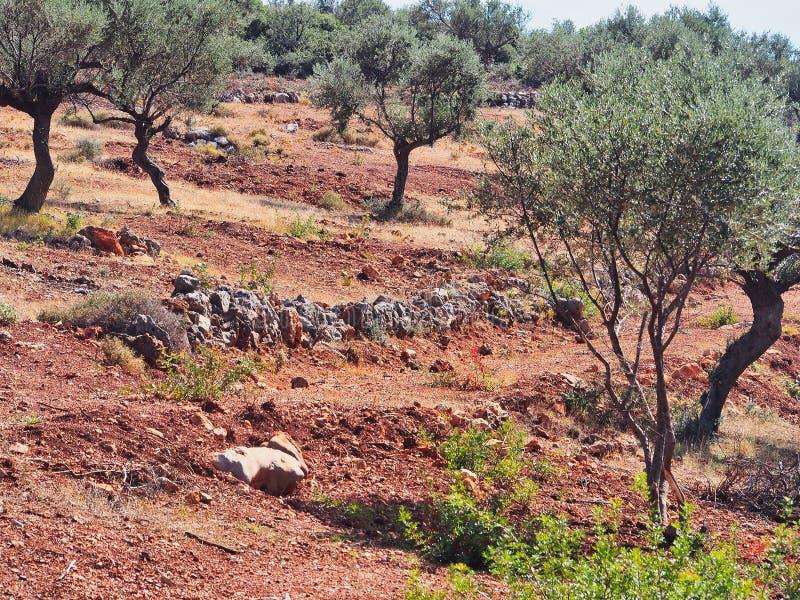 Olive Trees Growing nel suolo rosso della bauxite, Grecia immagine stock libera da diritti