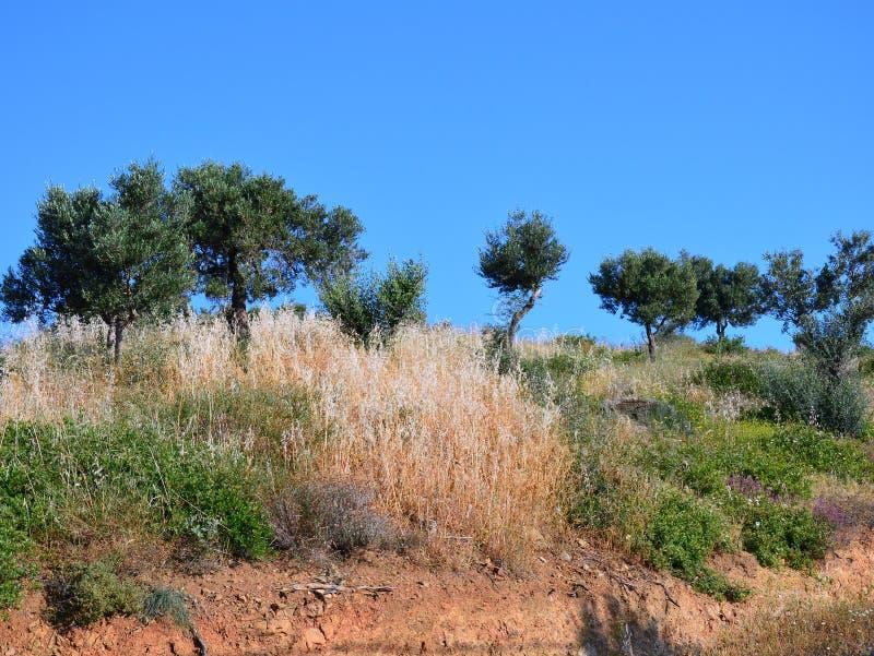 Olive Trees Growing sur Ridge rural, Grèce photo stock