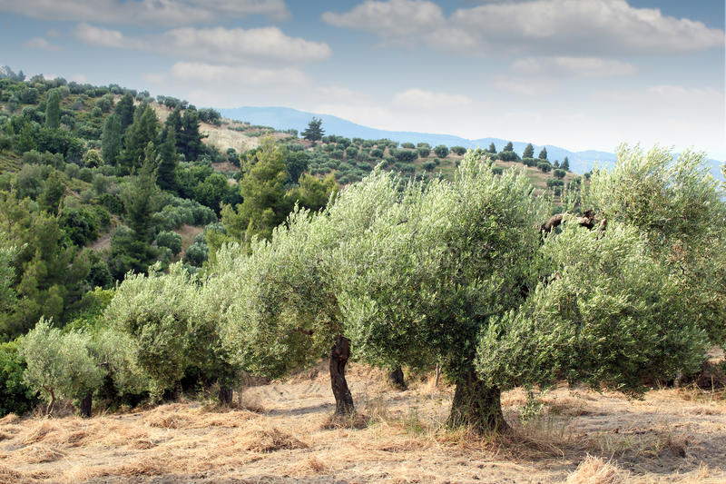 Download Olive trees hill stock image. Image of country, blue - 28568487