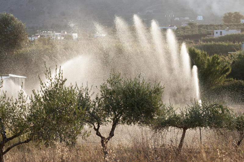 Download Olive trees irrigation stock image. Image of harvest - 39501601