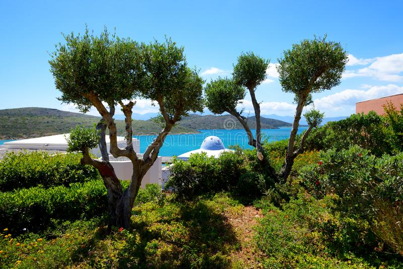 The olive trees at luxury hotel royalty free stock photo