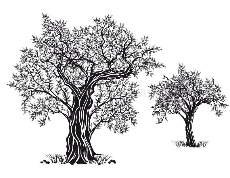 Olive trees vector illustration