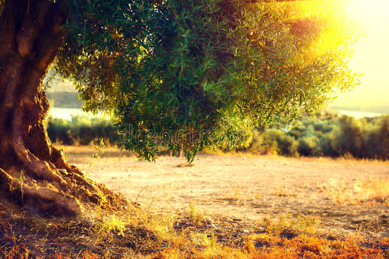 Olive trees. Plantation of olive trees at sunset stock image