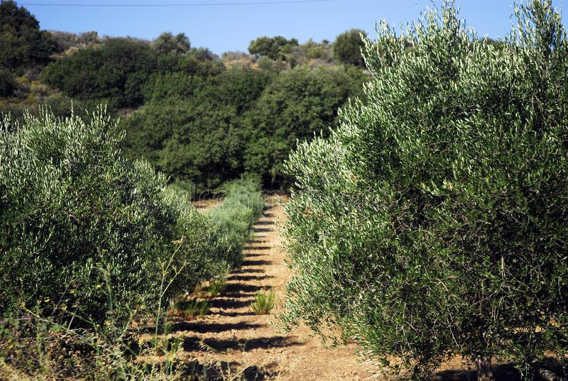 Olive trees are planted in even rows on small hills stock image