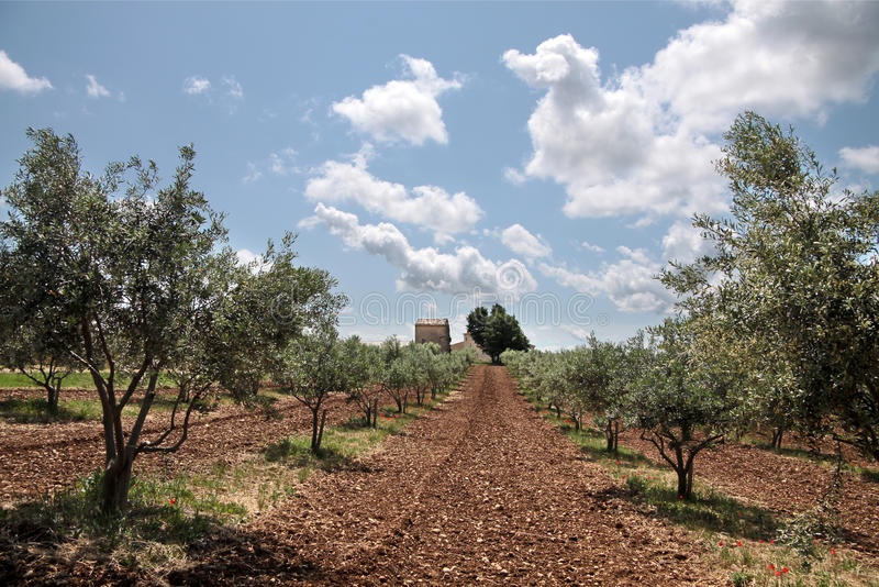 Olive Trees In Provence Royalty Free Stock Image