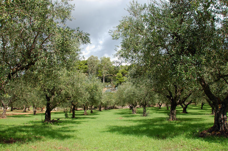 Olive trees rows royalty free stock photos