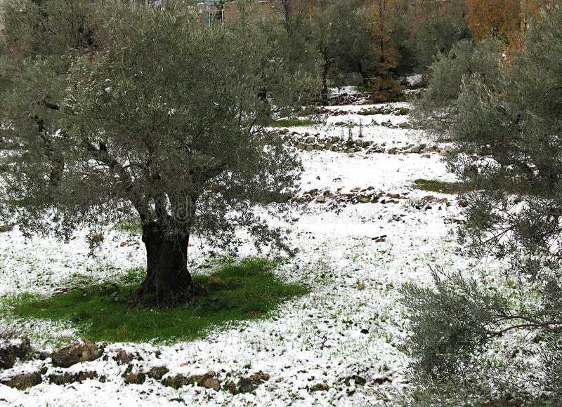 Olive Trees in Snow stock images