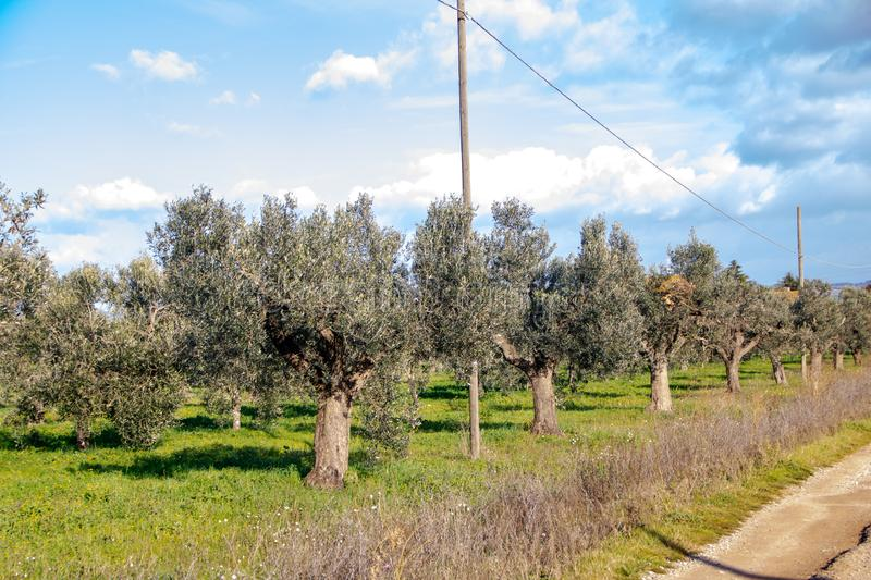 Olive trees in tuscan countryside stock image