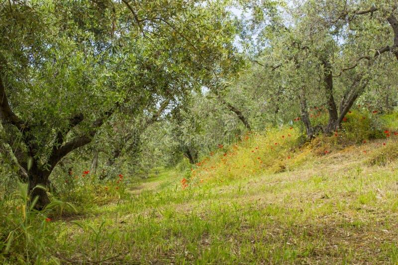 Olive trees in Tuscany royalty free stock photo