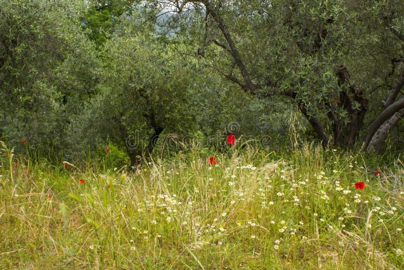 Olive trees in Tuscany stock photo
