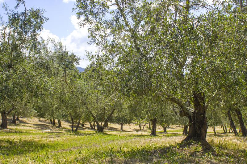 Olive trees in Tuscany, Italy stock images