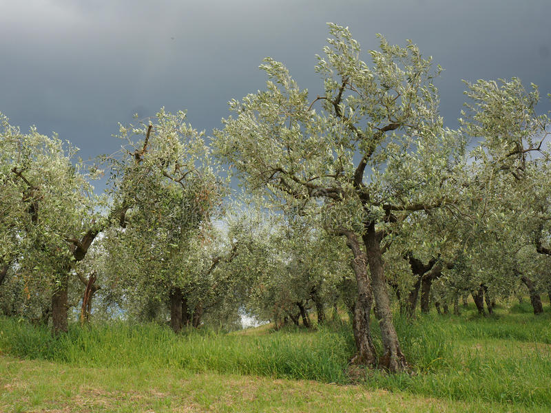 Download Olive Trees Under Dramatic Dark Sky Stock Image - Image: 28337441