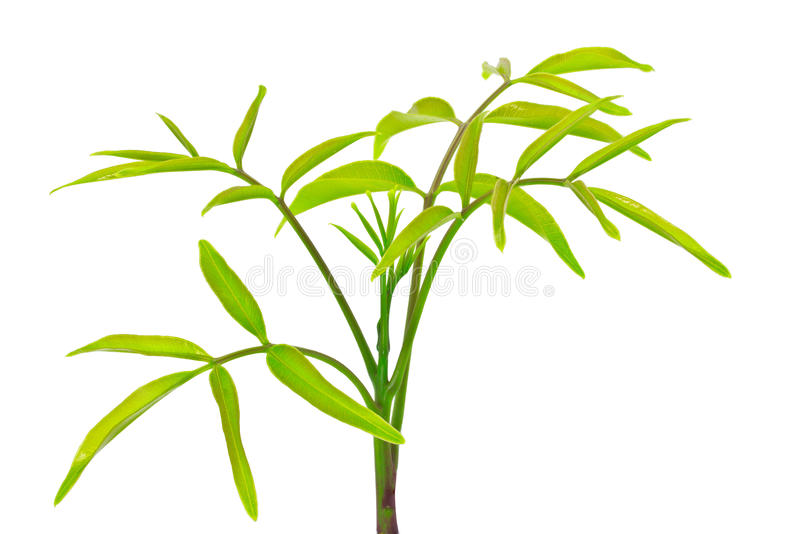 Download Olive treetop stock image. Image of botany, season, growth - 30774287