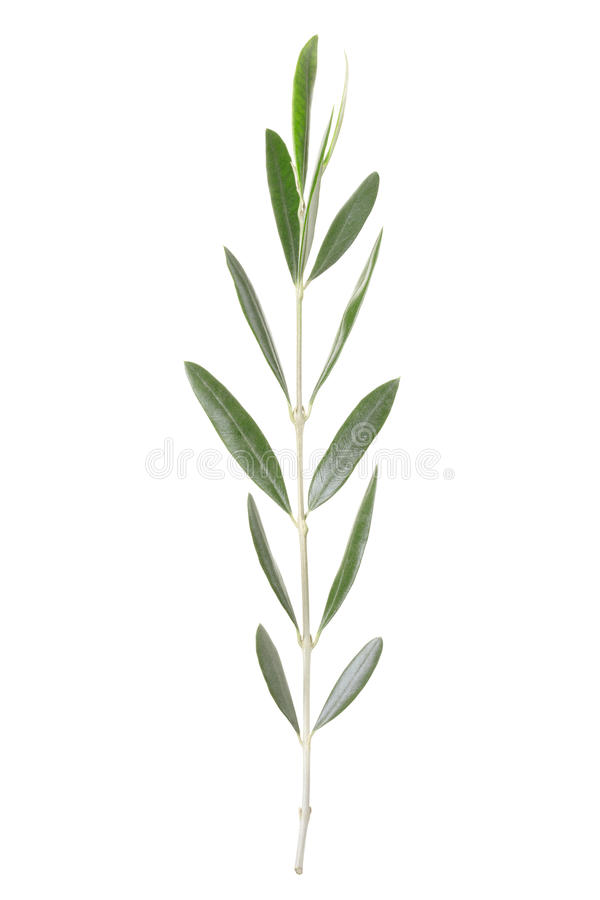 Download Olive twig stock photo. Image of branch, path, studio - 24430918