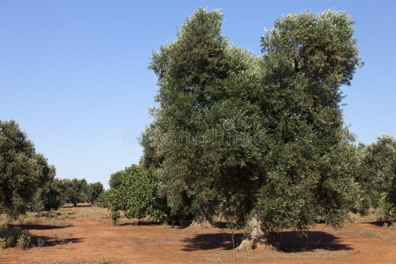 olive växt puglia arkivfoto