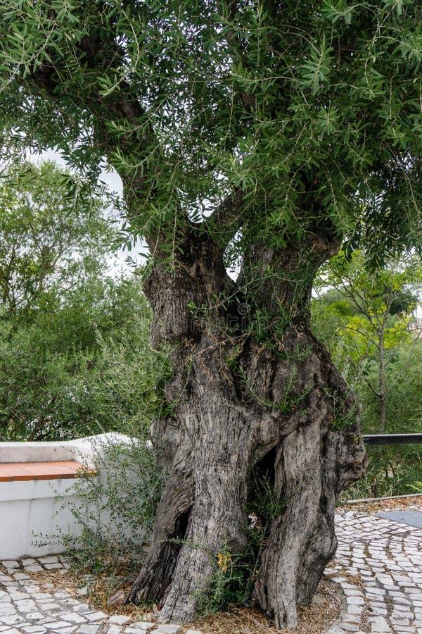 Oliveira antiga no jardim do coruche Ribatejo, Santarem, Por imagens de stock royalty free