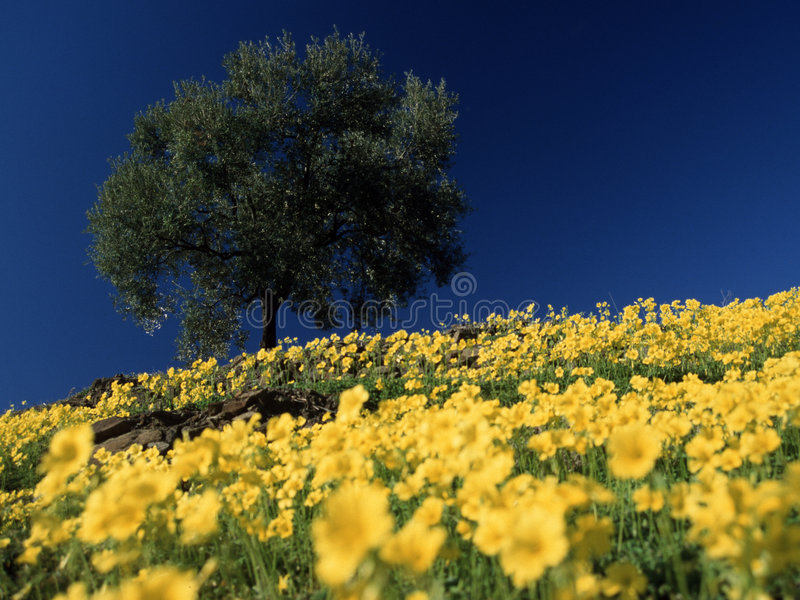 Oliveira grande no campo de flores imagens de stock