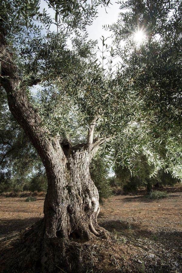 Oliveira velha de climas mediterrâneos no sul de spain imagens de stock royalty free