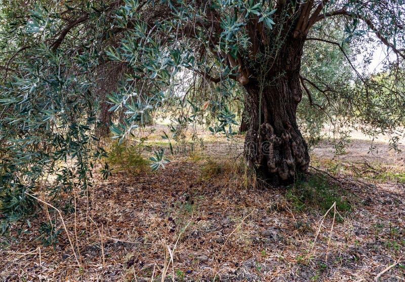 Oliveira velha no jardim fotos de stock royalty free
