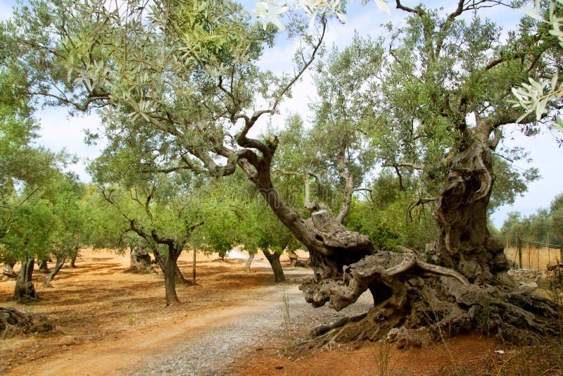 Oliveiras centenárias de Mallorca mediterrâneo fotografia de stock royalty free