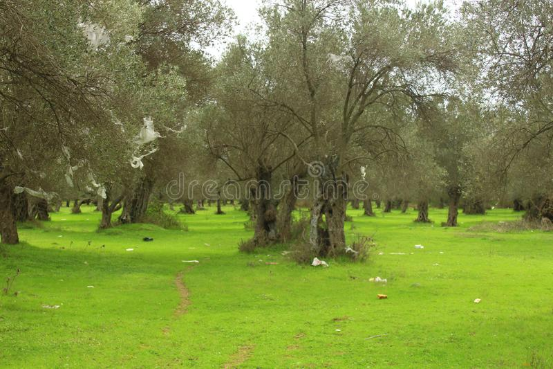 Oliveiras e gramados verdes Desperd?cio humano fotografia de stock