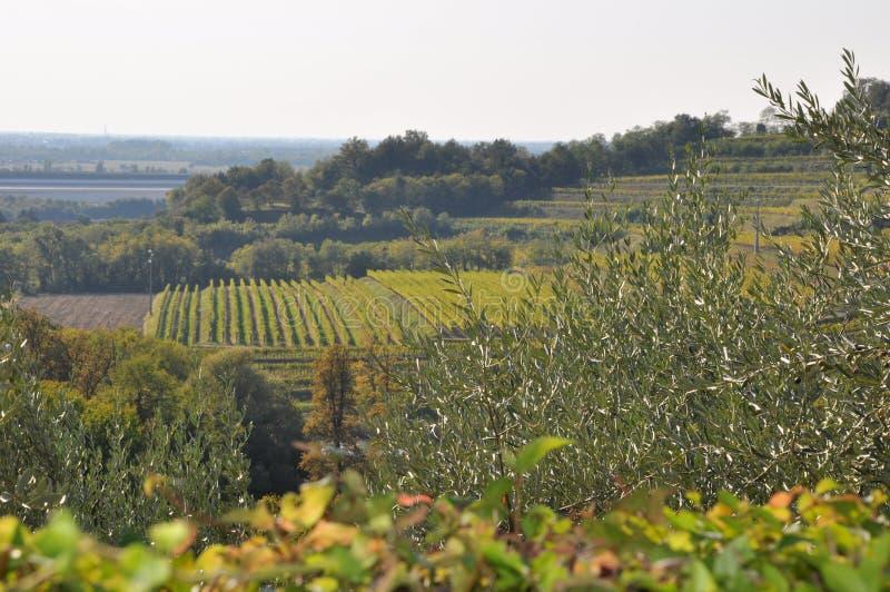 oliveiras e videiras orgânicas Friuli Italia fotografia de stock