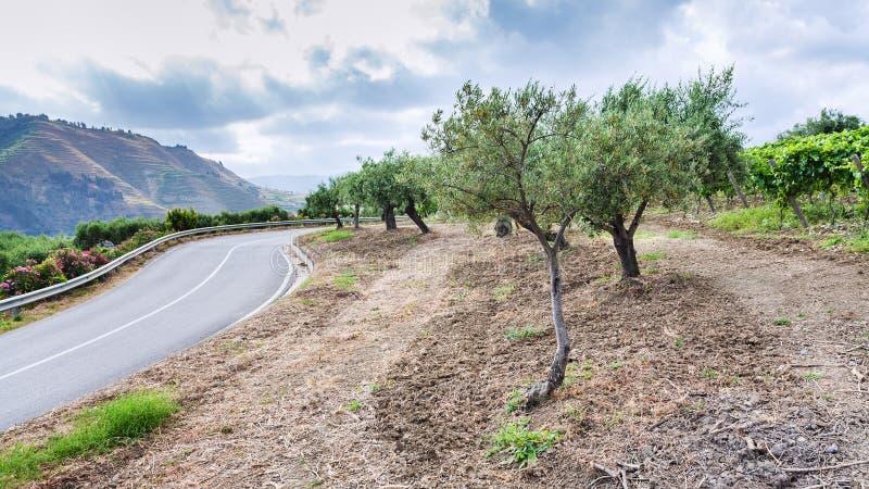 Oliveiras e vinhedo na borda da estrada em Sicília foto de stock royalty free