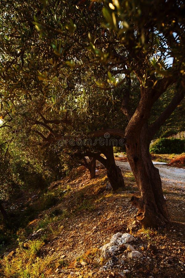 Oliveiras, mar e por do sol Kalamata, Grécia foto de stock royalty free