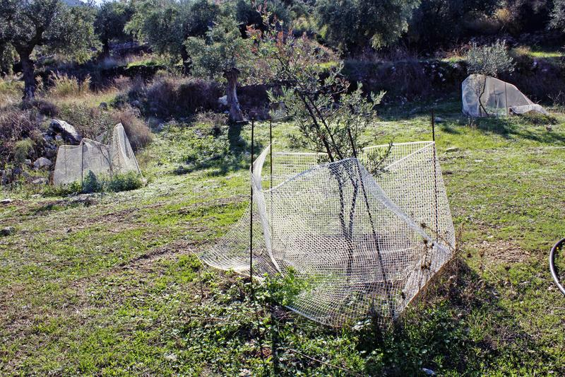 Oliveiras pequenas que crescem no bosque verde-oliva em Kalamata, Peloponnese, Grécia imagem de stock royalty free