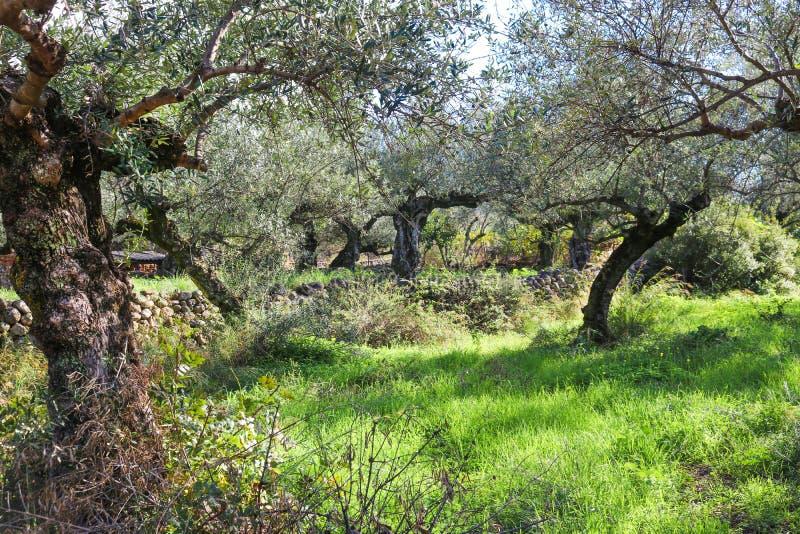 Oliveiras sulcado antigas com paredes e laranjas da rocha no fundo perto de Kalamata Grécia foto de stock royalty free